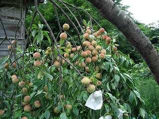 20050814 桃の木