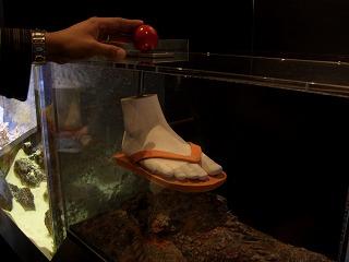 20051212 美ら海水族館 オニヒトデ