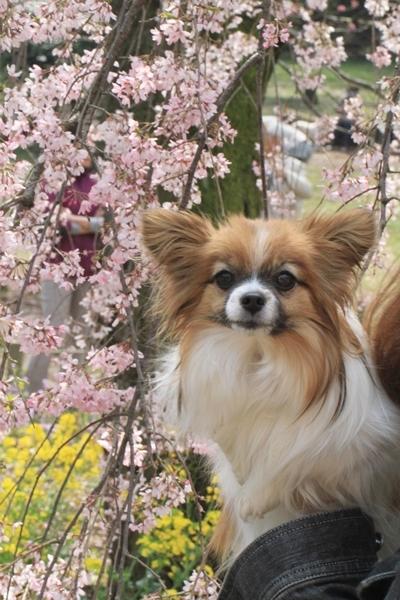 しだれ桜と〜♪