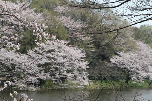池と桜っていいよね♪