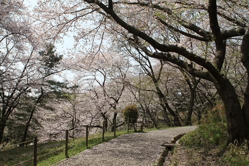 桜並木の道♪