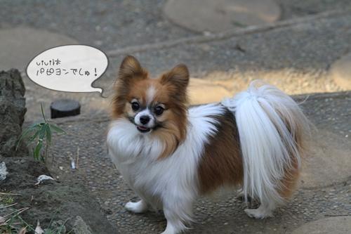 今までだって何度もチワワちゃんと間違えられている viviですから、そこはいいのです。うんうん、耳もちっちゃいしね!毛短いしね!!言われなくても分かってますっ!