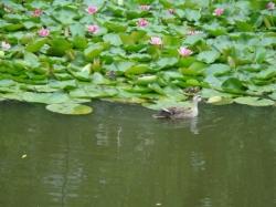 小鴨の遊び
