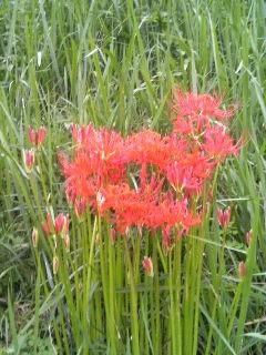 これは、探しに行って見つけた彼岸花です。