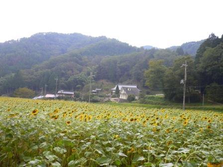 天谷のひまわり2007.10.4