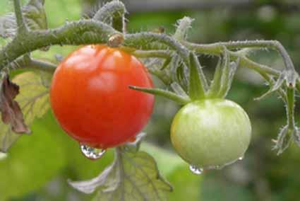 トマト雨上がり