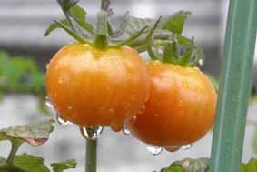 雨降りトマト