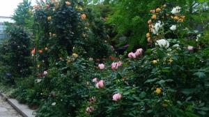 六アイのバラ