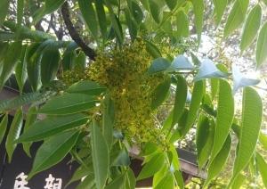 天王寺のハゼの花