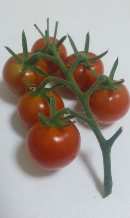 20100711トマト2