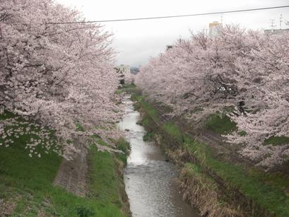 20110409奈良の桜
