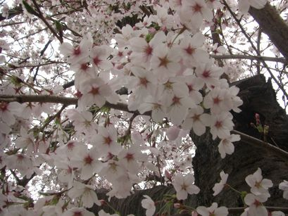 20110409奈良の桜2