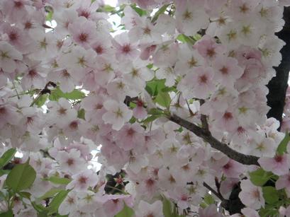 20110409奈良の桜3