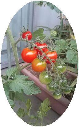 ベランダ家庭菜園☆プチトマト