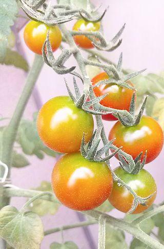 ベランダ菜園☆プチトマト