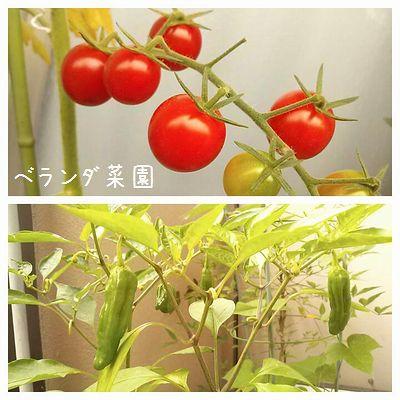 夏のベランダ菜園☆ミニトマト&ししとう