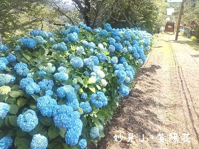 能勢・妙見山☆紫陽花