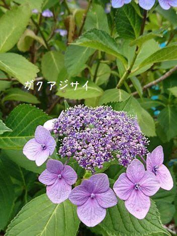 紫陽花@万博公園