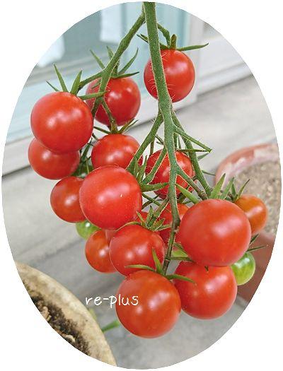 ベランダ菜園☆プチトマト鈴なり!
