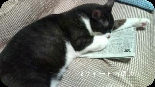新聞読む猫