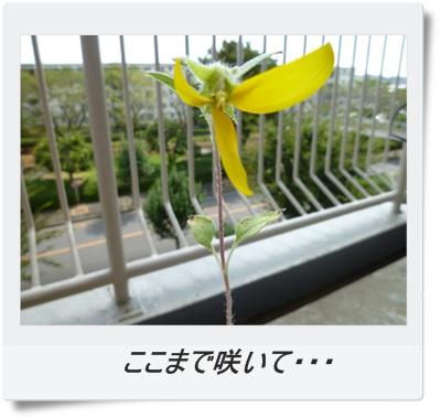 ここまで咲いて・・・