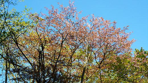 散りかけの桜