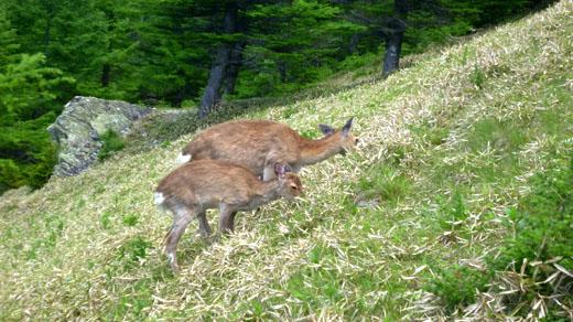 鹿が草食ってる