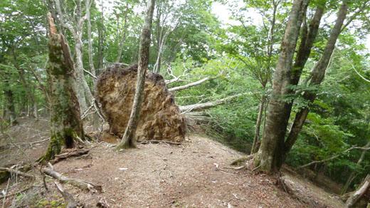根こそぎ倒れた木