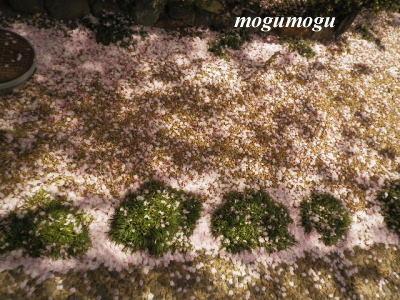 桜の絨毯1