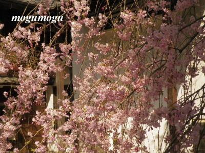 安井金比羅宮垂れ桜1