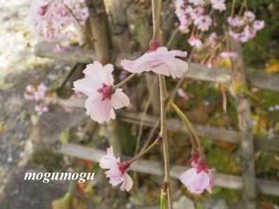 安井金比羅宮垂れ桜2