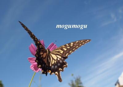 蝶々と秋桜