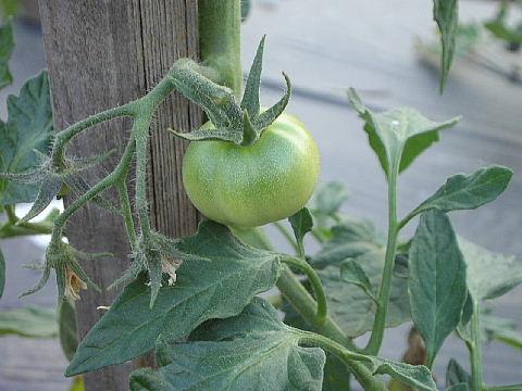 隣のトマト