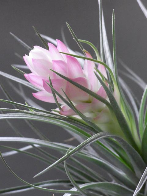 エアープランツ花
