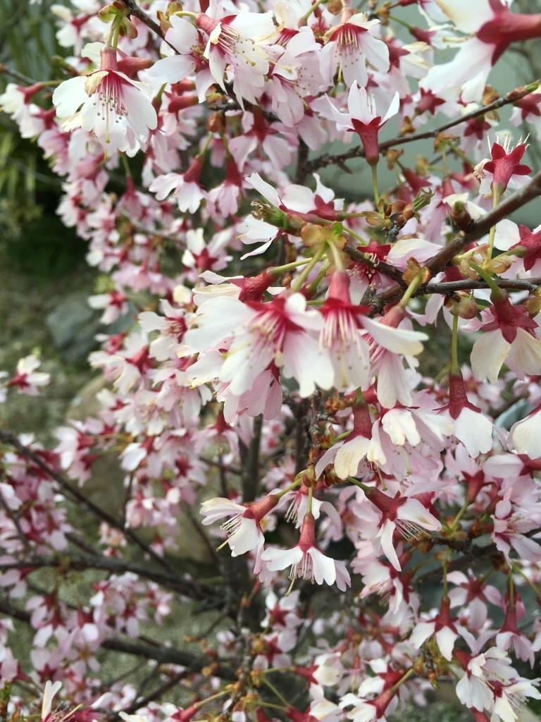 オカメ桜2