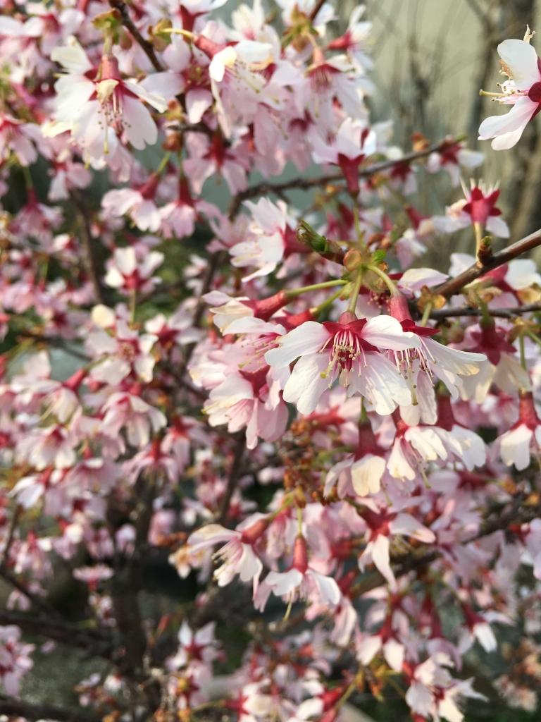 おかめ桜3