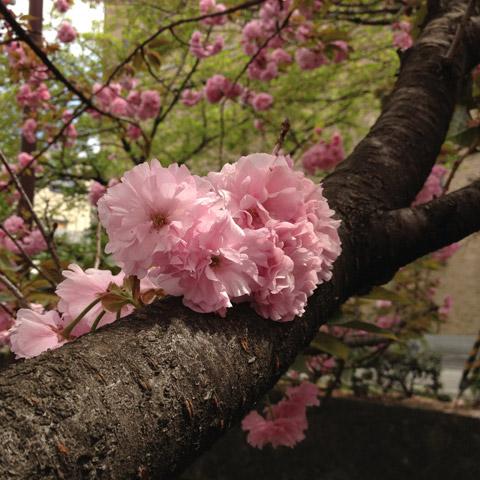 八重桜 木屋町