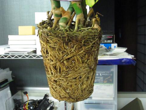 植木鉢 根っこ やばい
