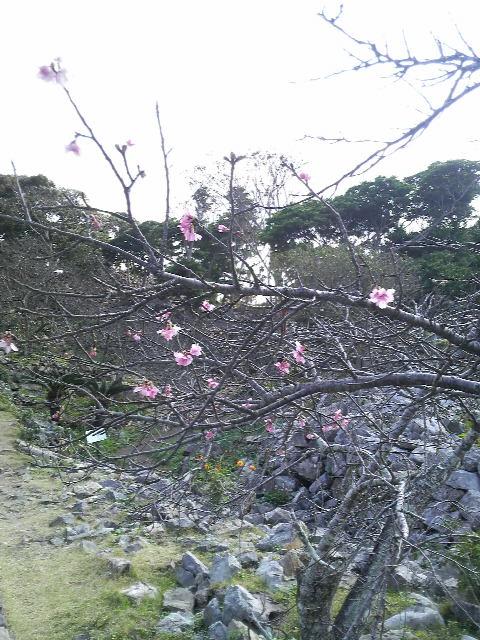 今帰仁城跡 桜