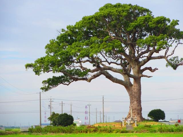長太の大楠