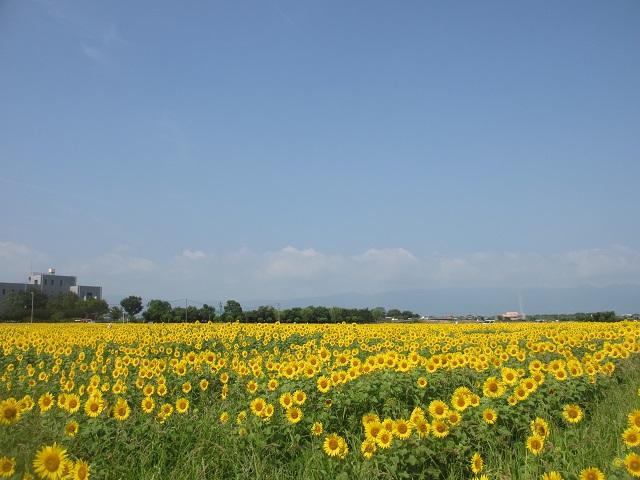 羽島市市之枝のひまわり畑�