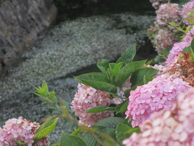 醒ヶ井の梅花藻�