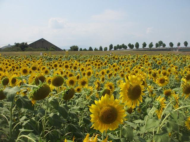 大垣のひまわり畑�
