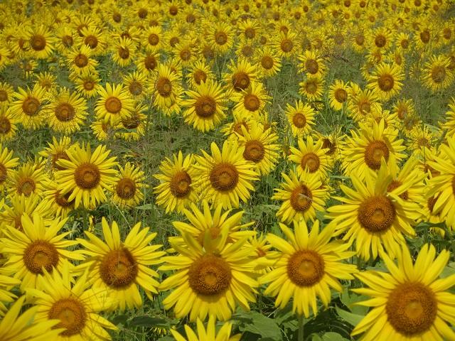 美濃市洲原のひまわり畑�