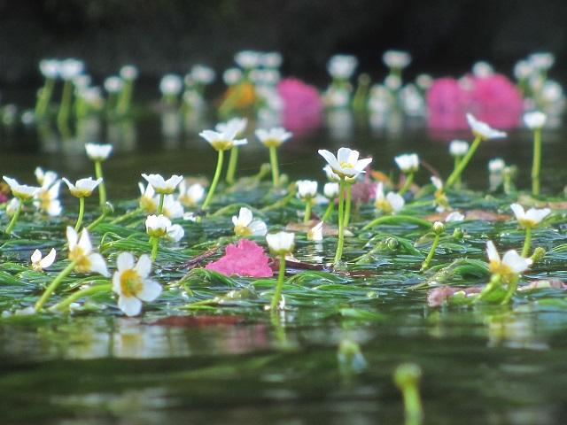 醒ヶ井の梅花藻?