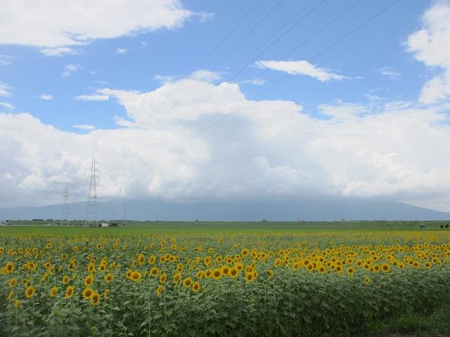 安八町牧のひまわり畑�