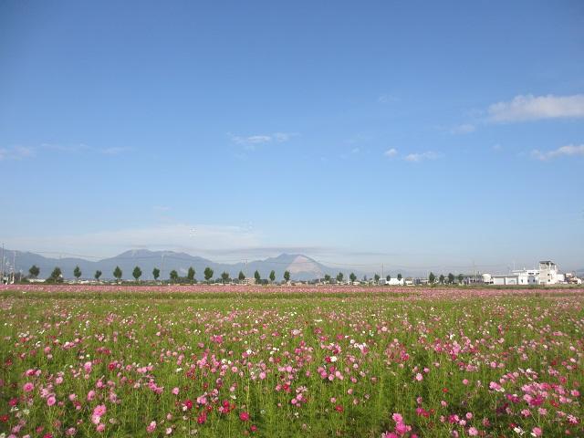 東員町のコスモス畑�