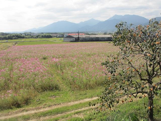 菰野町のコスモス畑�