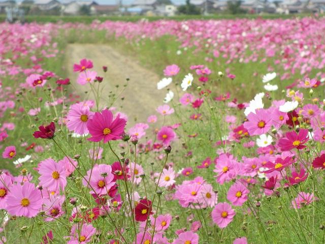 羽島市市之枝のコスモス畑�