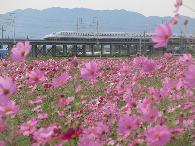 大垣のコスモス畑�